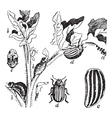 Colorado Potato Beetle engraving vector image vector image