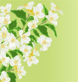 Jasmine flower branch spring background vector image vector image