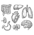 set isolated internal human organ sketch vector image