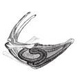 whooping crane windpipe vintage vector image vector image