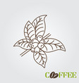 line icon coffee plant with leaf and beans vector image vector image