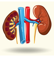 human kidneys cartoon vector image vector image