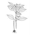 galeopsis speciosa botanical vector image vector image