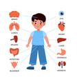 kids internal organs system little boy vector image