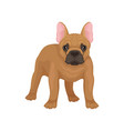 portrait of standing french bulldog front view vector image