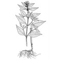 galeopsis bifida botanical vector image vector image