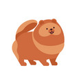pomeranian or pom adorable funny purebred toy vector image vector image
