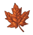 Maple leaf vintage color engraved vector image vector image