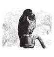 european hawk vintage vector image vector image