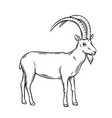 mountain goat vector image vector image