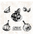 digital detailed garlic hand drawn vector image vector image