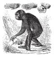 Chimpanzee vintage engraving vector image vector image