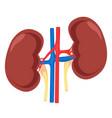 kidney human anatomy vector image