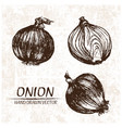 digital detailed onion hand drawn vector image