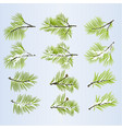 pine tree branches lush conifer vector image
