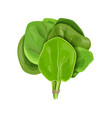 bunch spinach fresh juicy raw leaves close up vector image vector image
