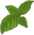fresh green basil vector image