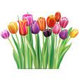 bouquet multicolor tulips vector image