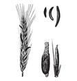 Rye cereal vintage engraved vector image vector image