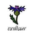 flower of cornflower vector image