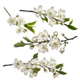set blossoming cherry branches vector image