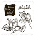 dog rose hand drawn vector image