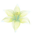 beautiful lily on white background vector image