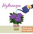 hand watering hydrangea plant vector image vector image
