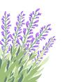 Watercolour lavender flower card vector image vector image