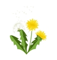 dandelions with leaves vector image
