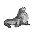 sea lion animal sketch engraving vector image