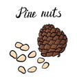 drawing pine nuts vector image
