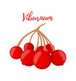 red berry botanical viburnum guelder rose vector image vector image