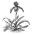 Paphiopedilum Orchid vintage engraving vector image vector image