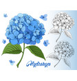 luxurious hydrangea vector image
