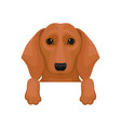 cute brown dachshund hanging on invisible border vector image
