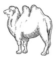black bactrian camel vector image