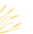 wheat field background vector image vector image
