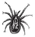 Red Mite vintage engraving vector image