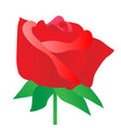 rose red on white background vector image vector image