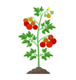 tomato plant with ripe tomatoes fruits and flowers vector image vector image