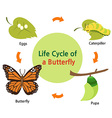 butterflylifecycle vector image