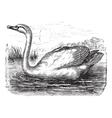 Mute Swan vintage engraving vector image vector image