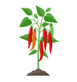 chili pepper plant with ripe fruits growing in the vector image