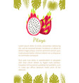 pitaya pitahaya exotic juicy fruit isolated vector image vector image