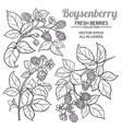 Boysenberry branches set on white