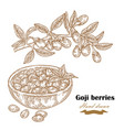 goji berries on a branch hand drawn medical plant vector image vector image