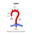 schematic view of the aorta segments vector image vector image