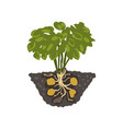 potato plant healthy organic food concept vector image