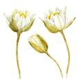 Watercolor lotus flower vector image vector image
